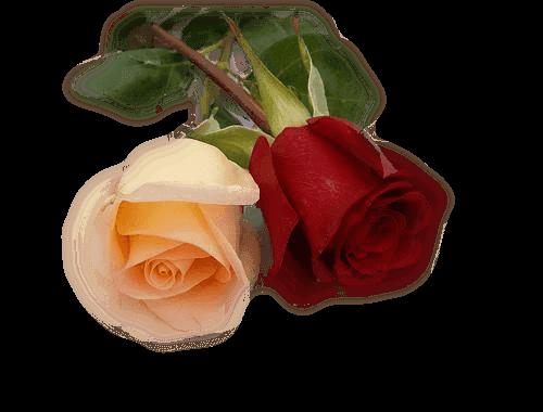 Des roses pour l'amour et la tendresse