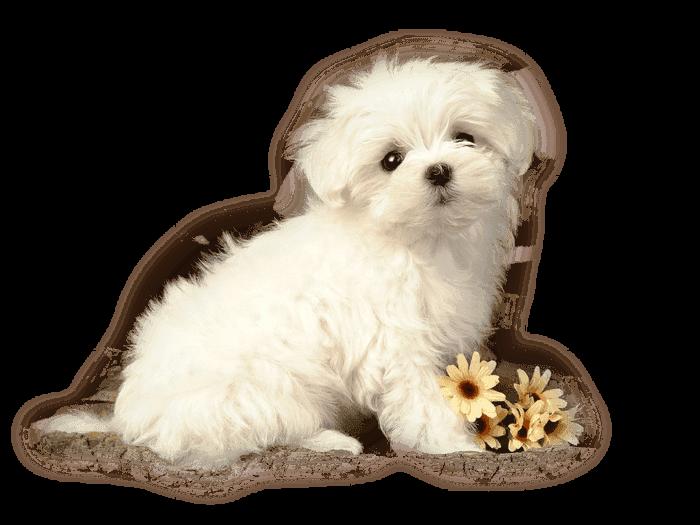 animal mignon petit chien - photo #2